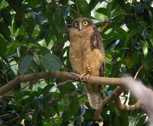 Rufous owl - photo#23