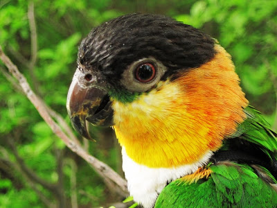 Caique Parrot in Spring, green foliage