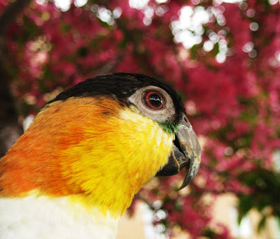 Black headed caique parrot sitting in a cherry tree with pink Spring blooms/flowers