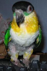 Before: Caique named Tia infected with the deadly PBFD psittacine beak and feather disease