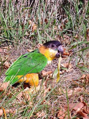 Black headed caique in aviator harness
