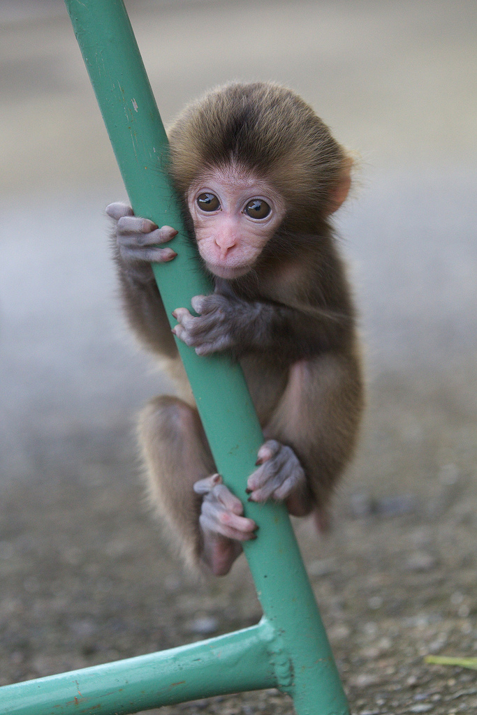 Cute baby monkey wallpapers - photo#8