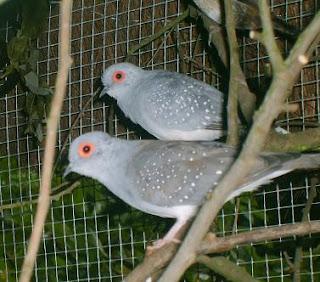 Jenis Burung Perkutut