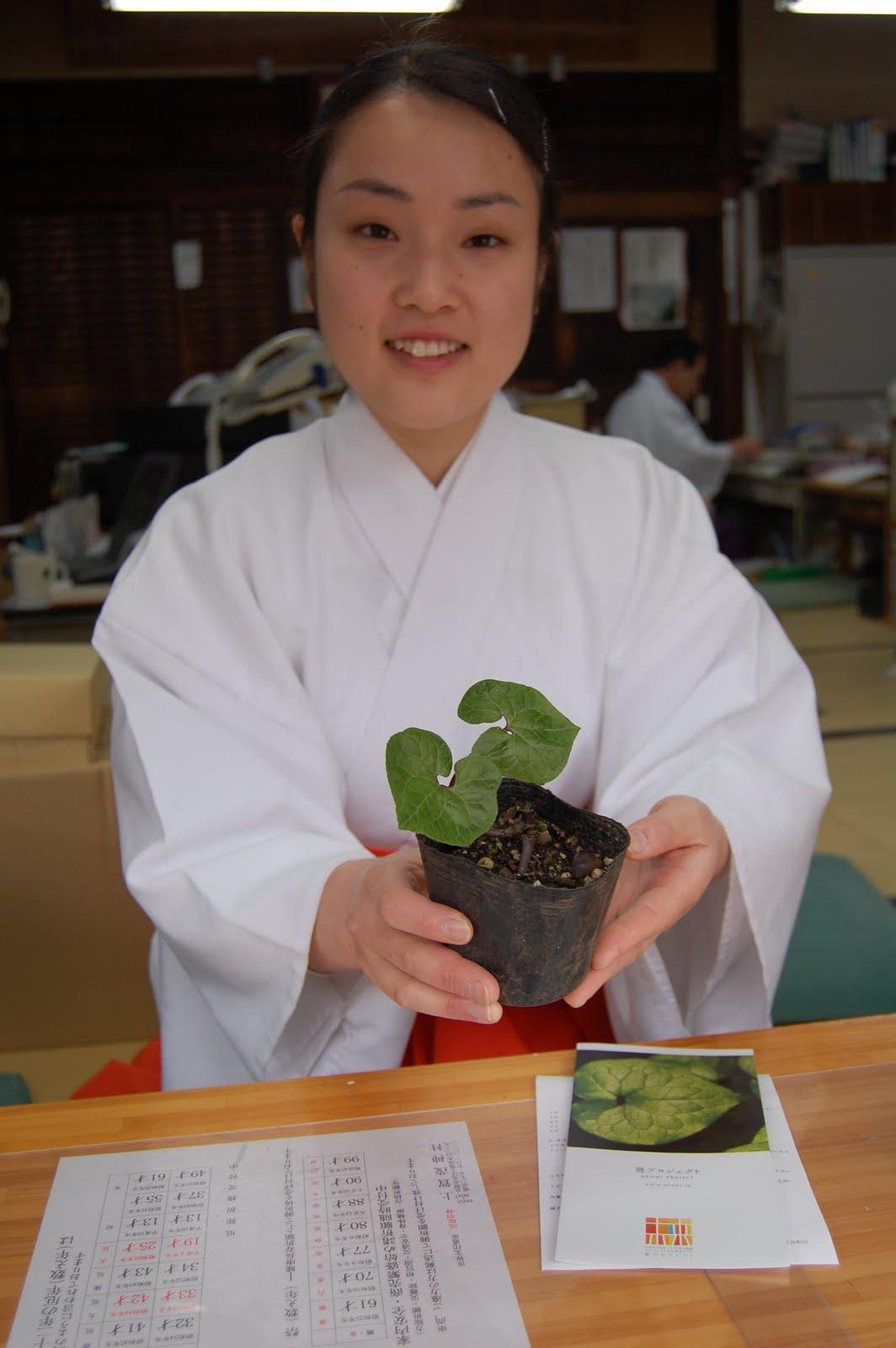 """Futaba-Aoi"" Japanese plant"