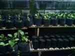 percobaan tanaman sawi