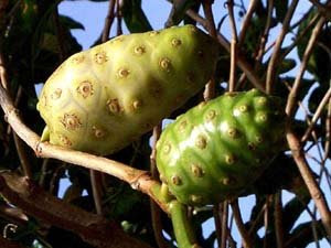 Usefulness of Noni Fruit Noni Fruit Mengkudu Buah Mengkudu