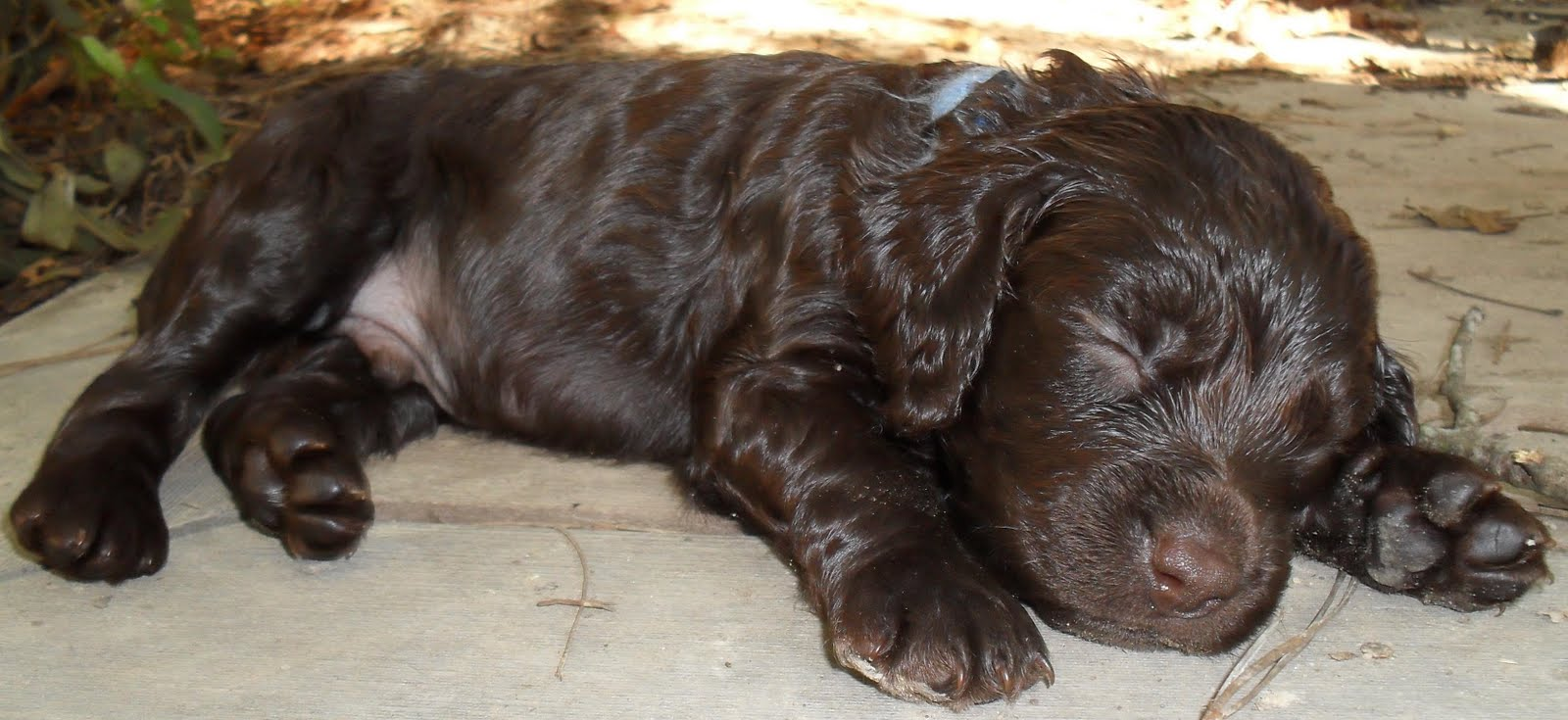 WELCOME TO THE BOYKIN SPANIEL SOCIETY