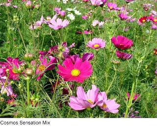 Gardenseed Cosmos Sensation Mix