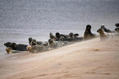 seals on Findhorn beach