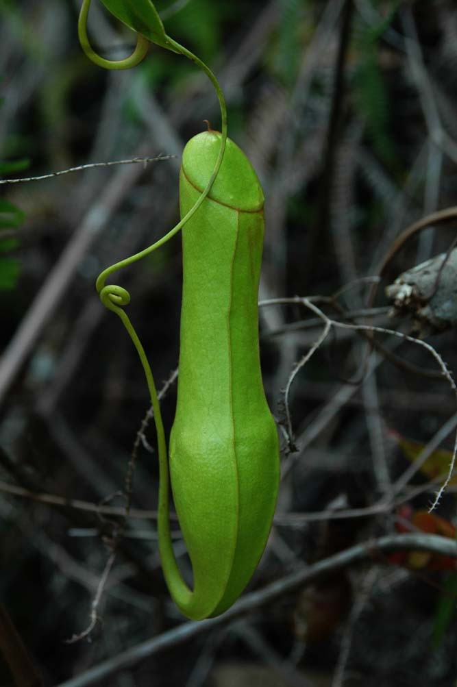FLORA INDONESIA (Botanical Survival)