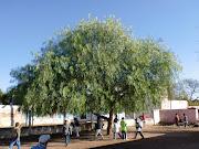 Córdoba – Argentina). Si bien en nuestra zona, el aguaribay es un árbol . patiodelaescuela
