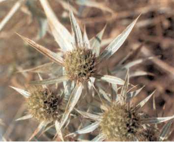 el jerguen es un arbusto de la familia de las leguminosas de espinas robustas y punzantes hojas pequeas trifoliadas y flores pequeas de un amarillo muy
