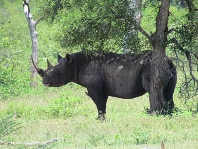 De zeldzaam voorkomende zwarte neushoorn in het Krugerpark