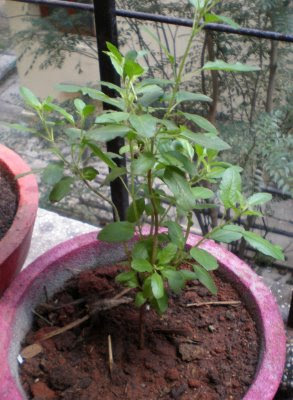 how to take care of tulsi