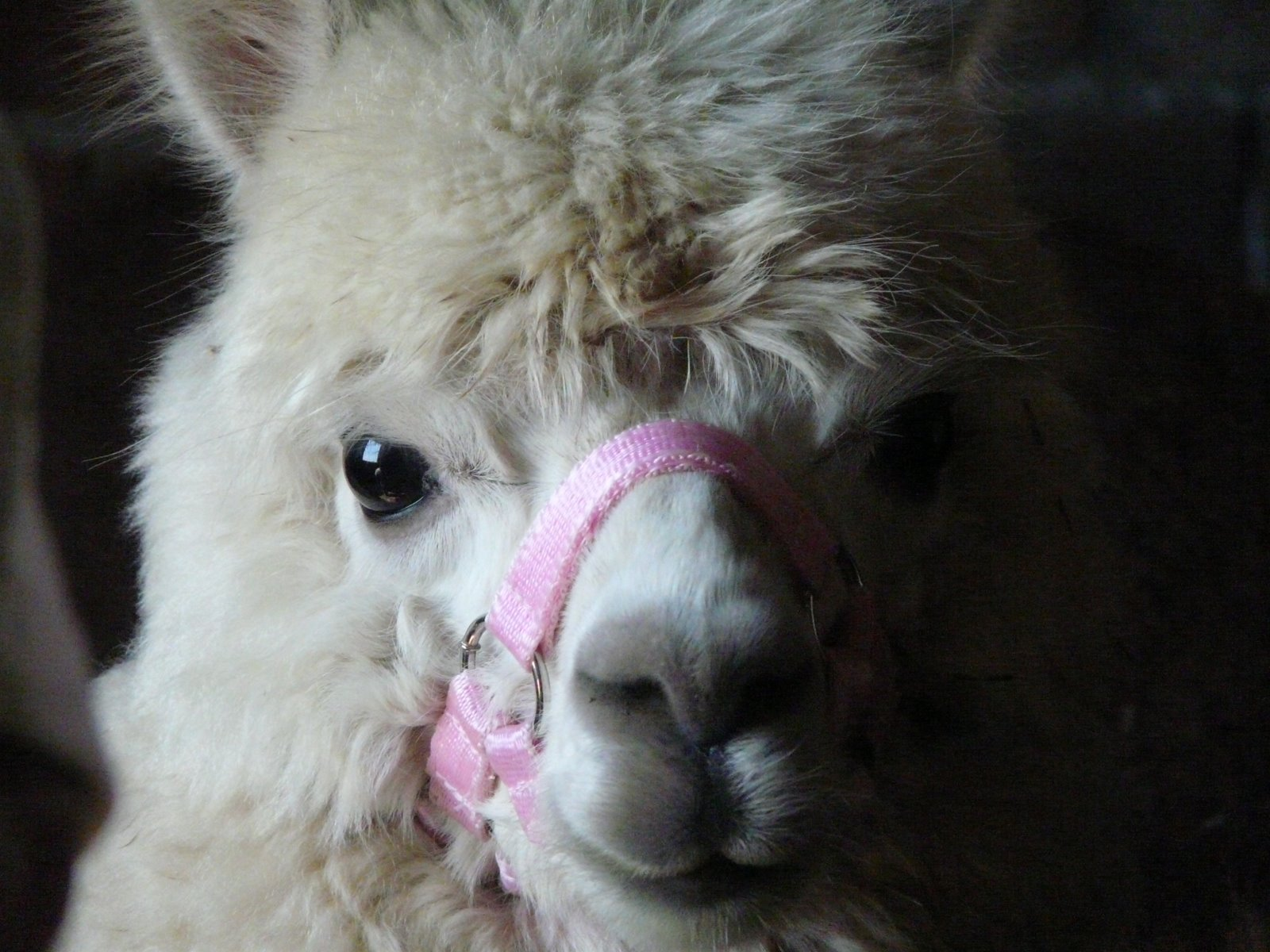 Serena, the Unflappable Alpaca