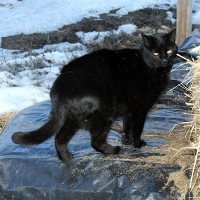 black farm cat