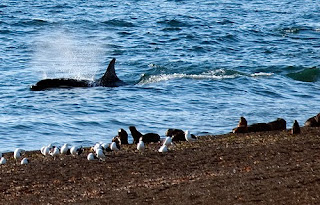 Orcas in Punta Norte: a report for wild life lovers.