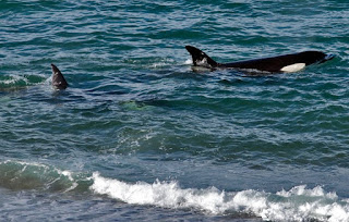 orcas - killer whales in Peninsula Valdes Patagonia Argentina