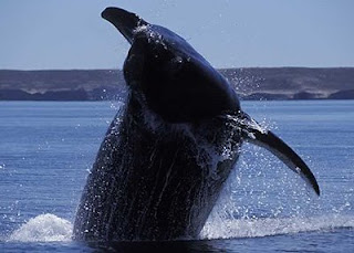 SOUTHERN RIGHT WHALE The evolution