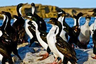 Cormorant in Valdes Peninsula