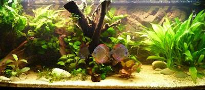 cuidados peces, peces de agua dulce, peces acuario, acuario agua dulce, ayuda peces, foro peces, alimentacion peces