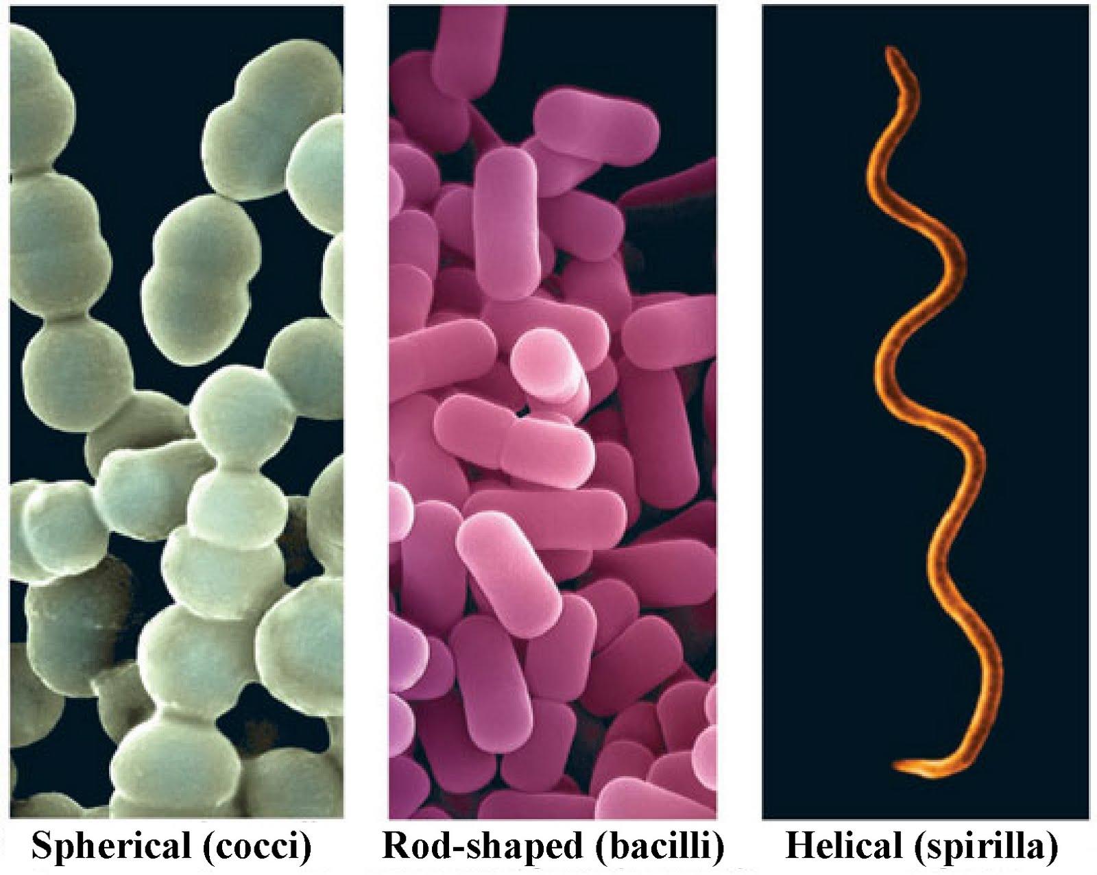رد صور بكتيريا تحت المجهر