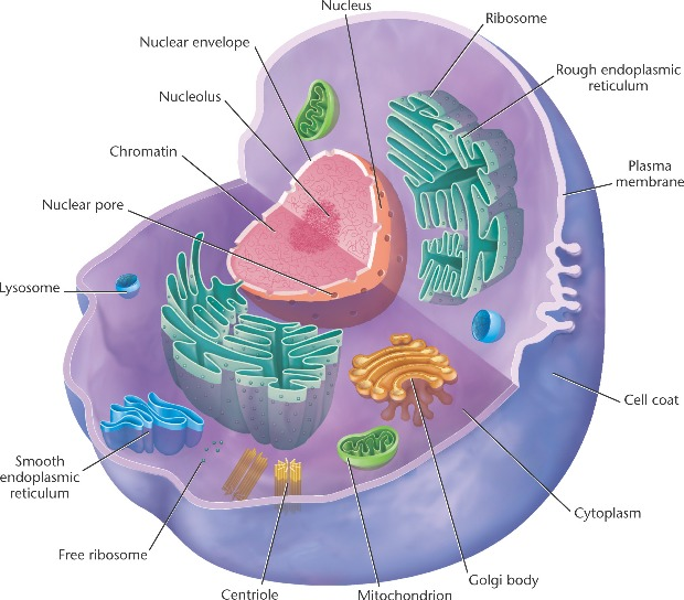 Animal Cell Illustration A little differently labeled, but always remember