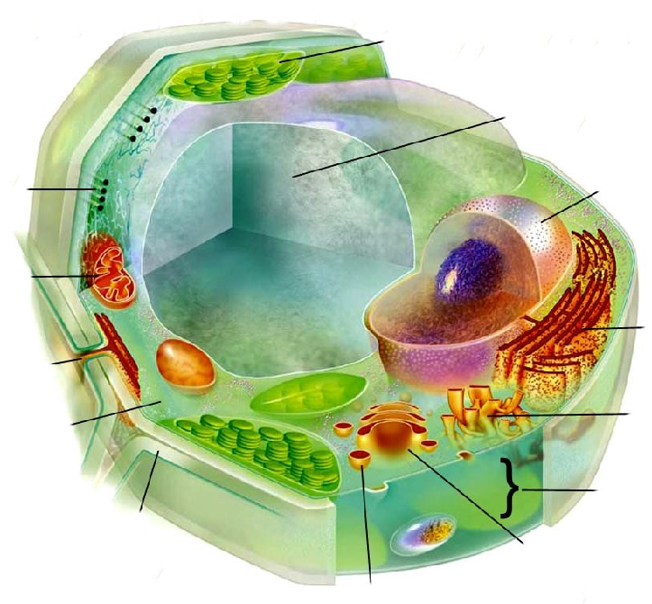 Plant cell structure without labels plant cell structure without labels photo21 ccuart Image collections