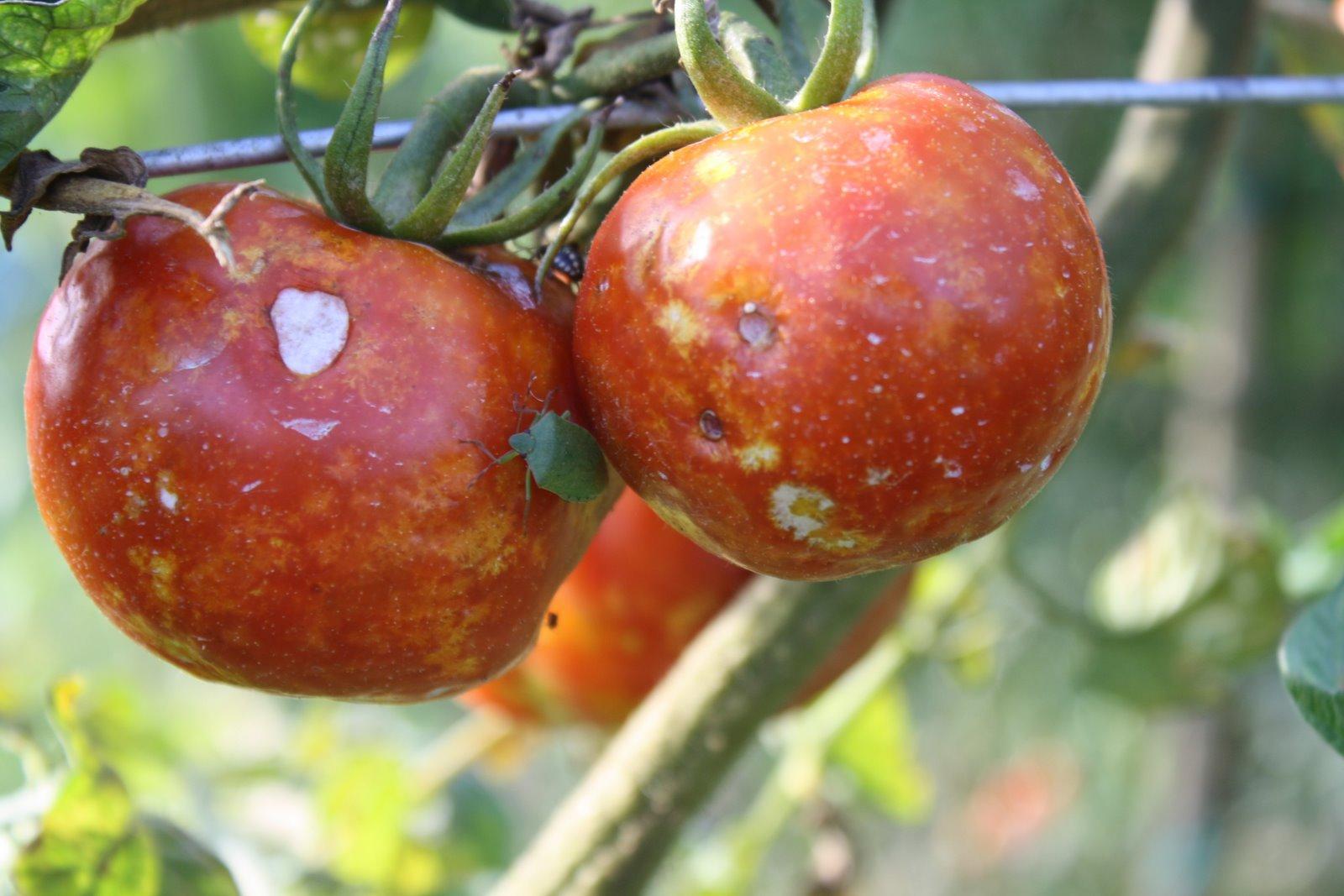 Pomodori marci grow the planet - Cimice del pomodoro ...