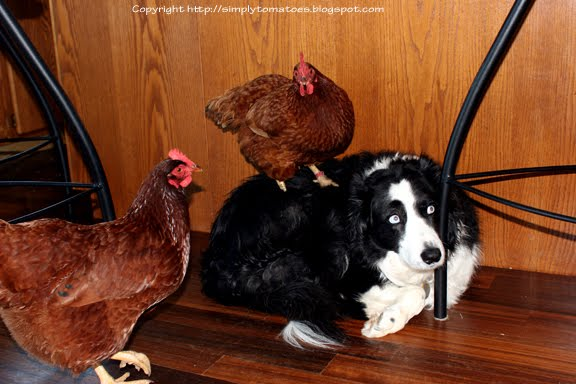 [Loki+and+his+Chickens8364.jpg]