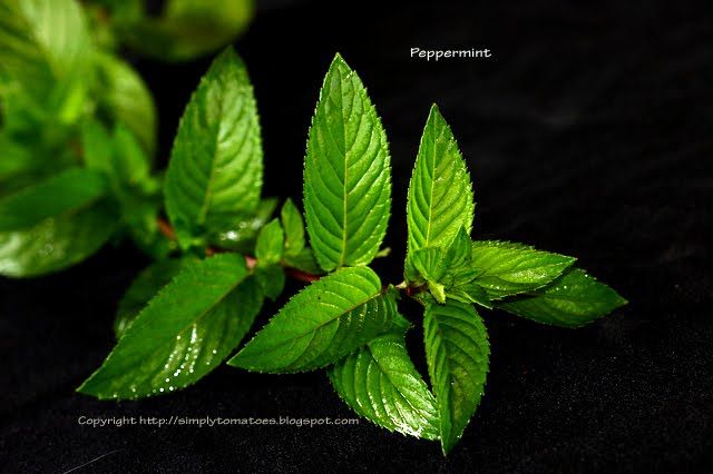 [Peppermint_9621.jpg]
