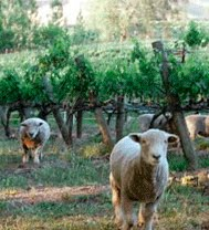 [sheep+vineyard]