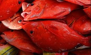 [red+fish]