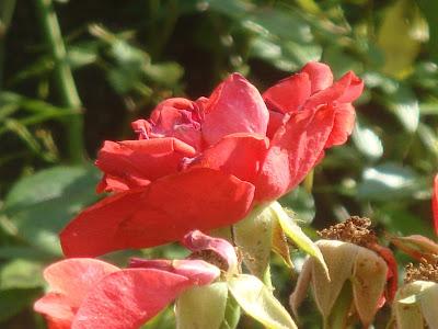 fleur rouge pâle