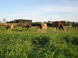 Aún vemos ganado en nuestros prados...