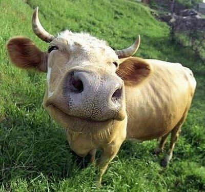 Aah Happy Cow