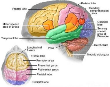 Brain anatomy picture