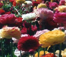I love Ranunculus