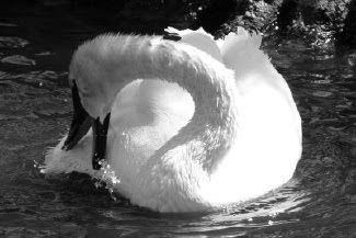 Swan Dance in Australia by Joe Beine