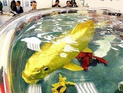 ikan emas ini merupakan yang terbesar di dunia selain b