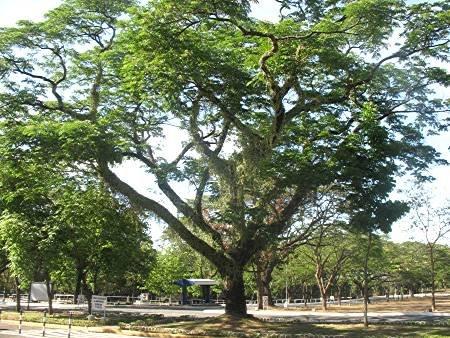 acacia tree in Ateneo de Manila