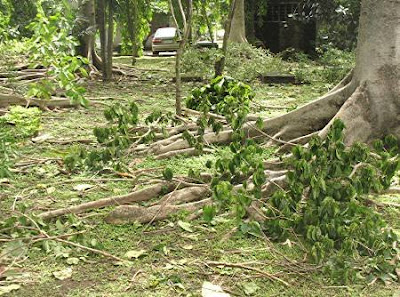fallen branches from typhoon Frank