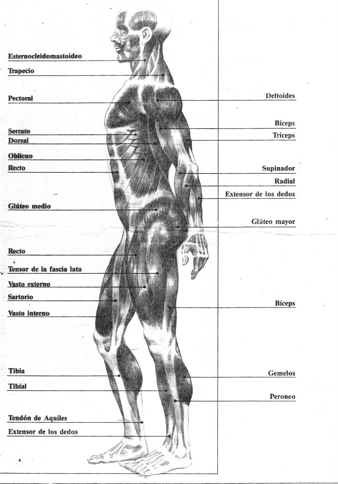 Asombroso Diagrama De Músculo De Cuerpo Ornamento - Anatomía de Las ...