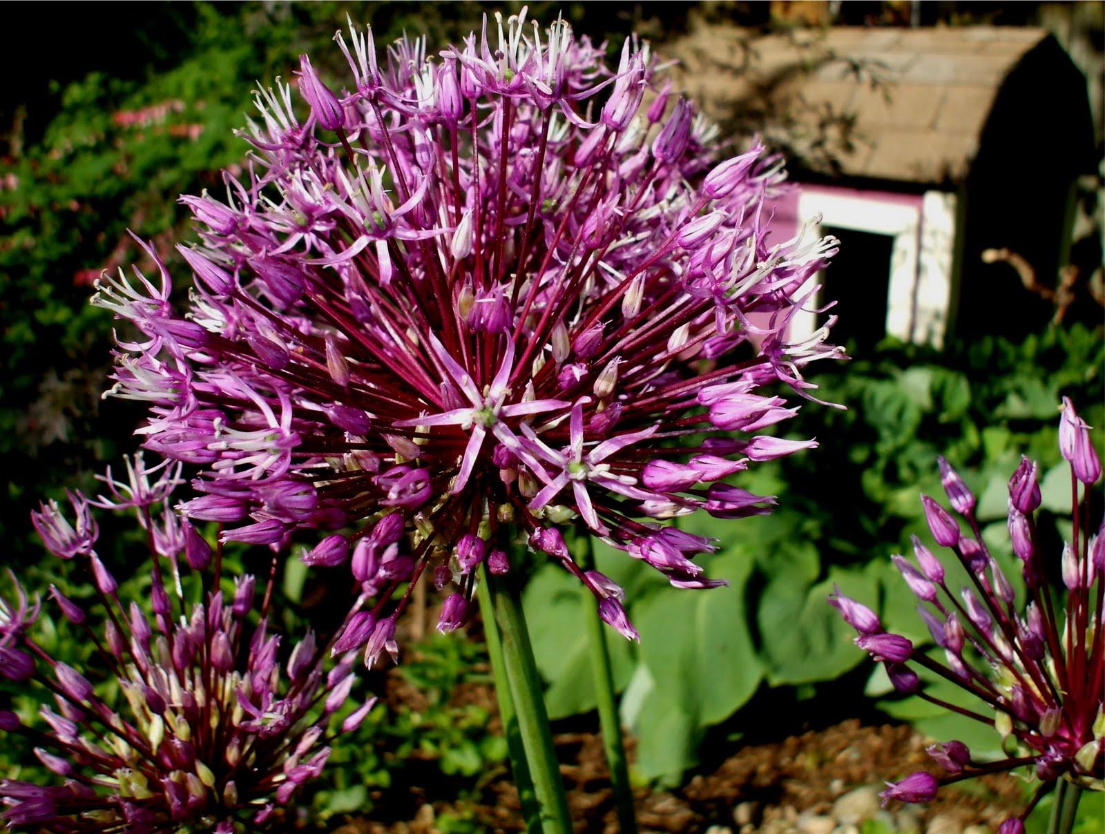 A Rose in the Garden Allium