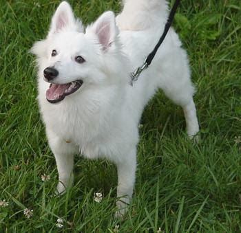 Funny Photos of Miniature American Eskimo Dog