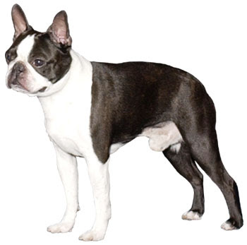 The Best Dog French Bulldog