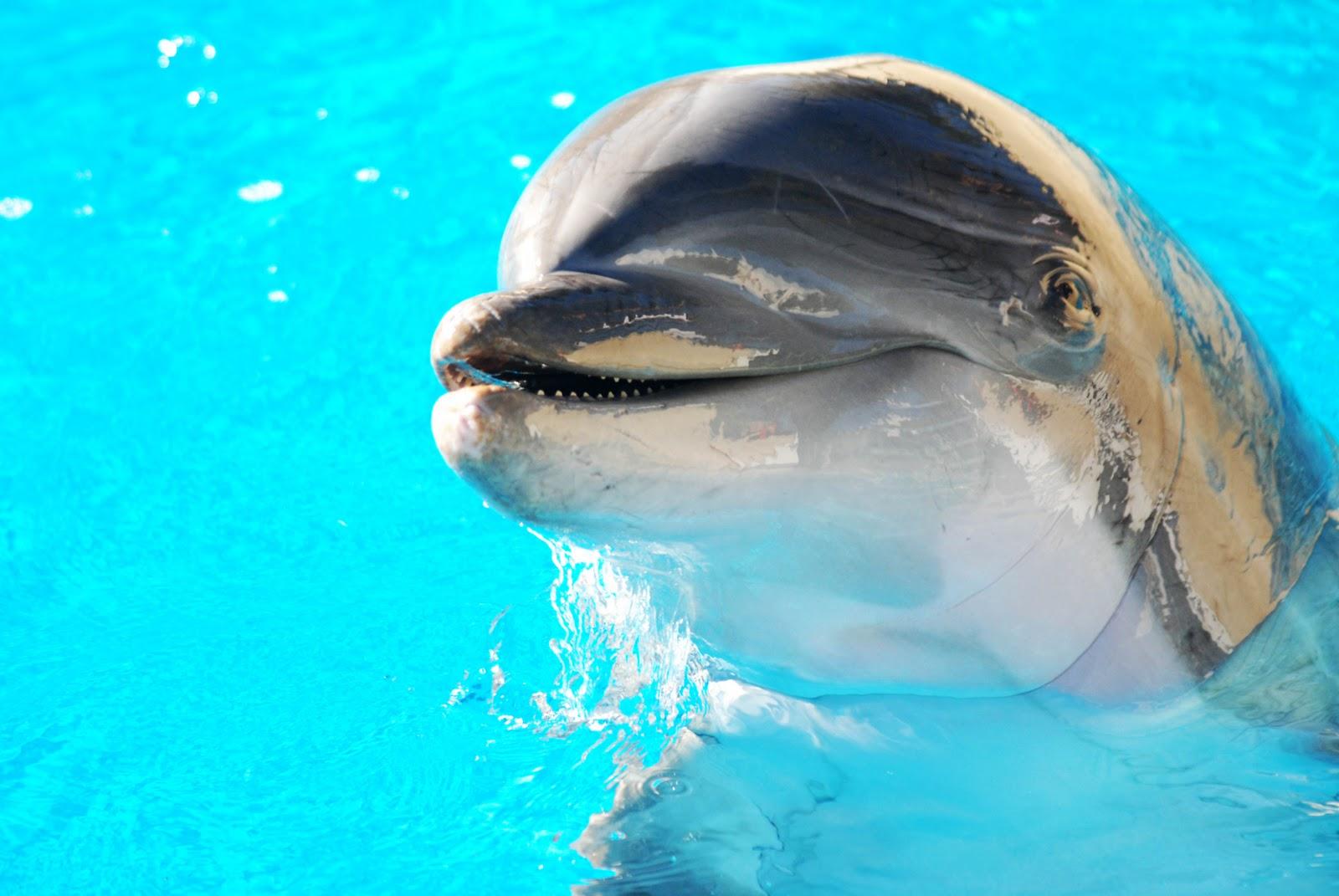 atlantic bottlenose dolphins at the mirage dolphin habitat