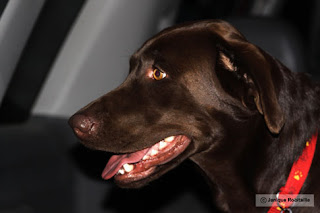 photo d'un chien labrador brun
