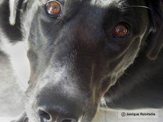 photo d'un chien labrador noir