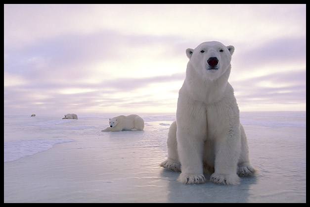 gambar binatang - foto beruang kutub